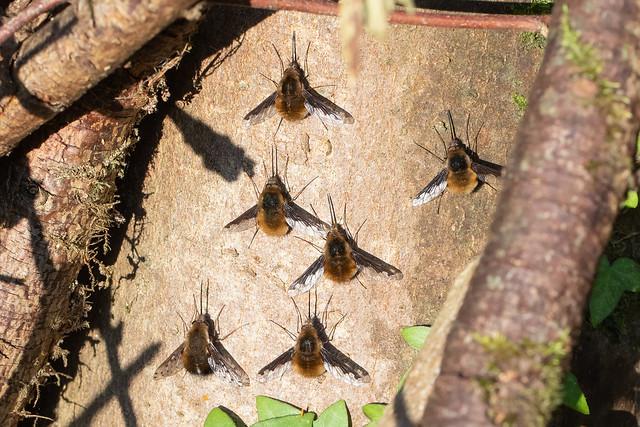 Bee-flies