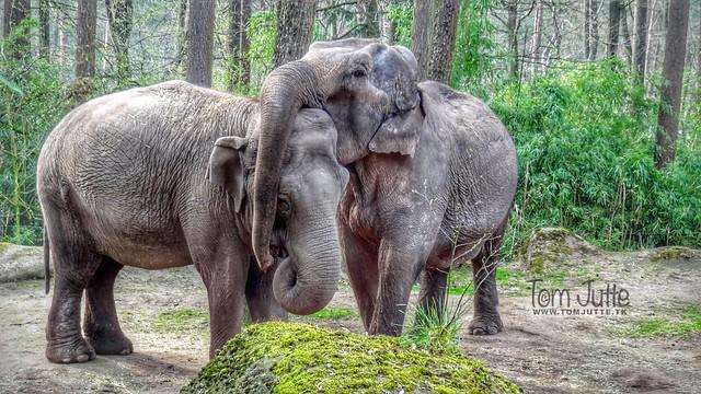 Elephants love, Burgers Zoo, Netherlands - 2377