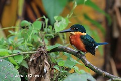 American pigmy kingfisher