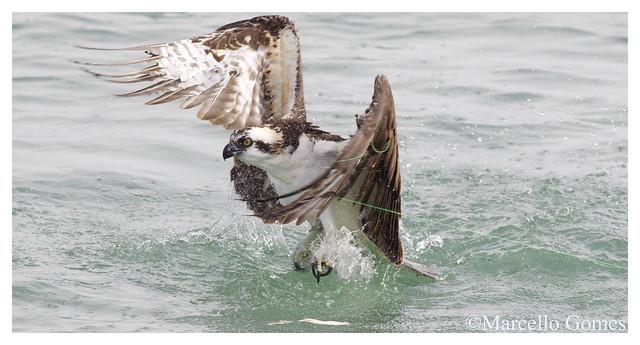 Osprey (Pandion haliaetus) OSPR - The Catcher Got Caught