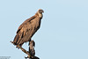 White-backed Vulture, Gyps africanus by Kevin B Agar