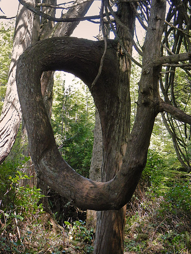 A twisted tree on the trail between Botanical Beach and Botany Bay near Port Renfrew on Vancouver Island, Canada