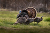 Wild Turkey mating series 1 of 5 by Brown Acres Mark