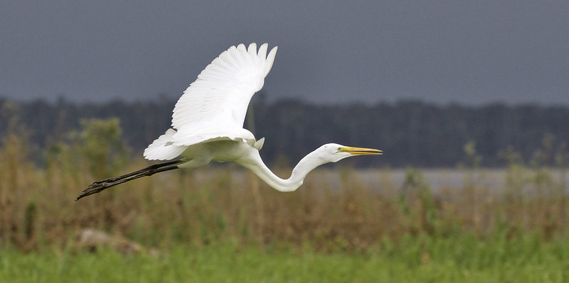 Great Egret, Egretta alba Ascanio_Peruvian Amazon 199A5974