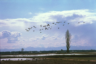 Geese fly | by threepinner