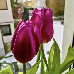 #silentsunday #tulips #winter