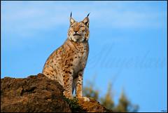 Lynx lynx (Lince boreal)