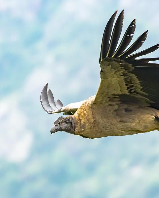 Cóndor Andino juvenil - Parque nacional quebrada de los condoritos - Argentina