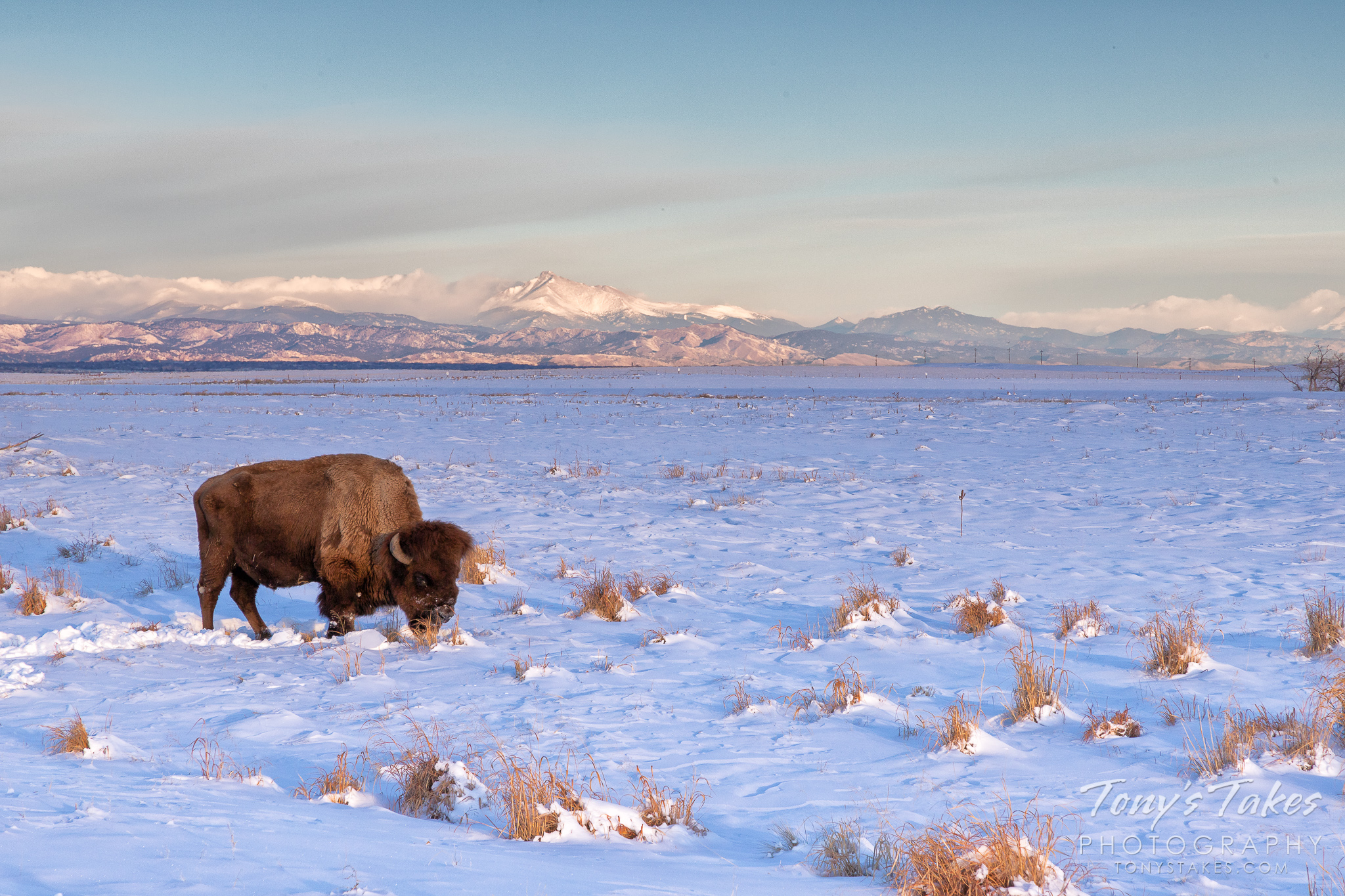 A bison bull works to push aside fresh snow so it can graze on the Colorado plains. (© Tony's Takes)