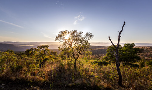 faureasaligna transvaalbeech kuduprivatenaturereserve kuduranch kudugameranch lydenburg mpumalanga southafrica sunrise