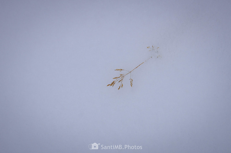 Hierba semienterrada en la nieve