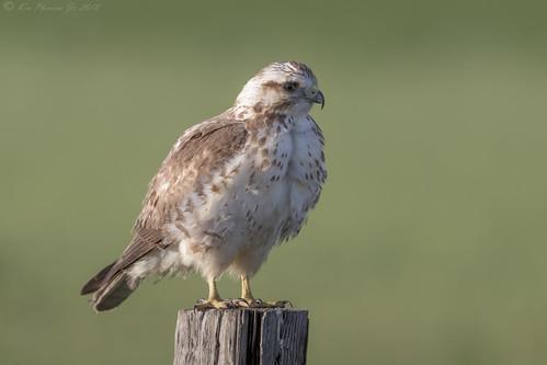 Swainson's Hawk juvenile Light morph