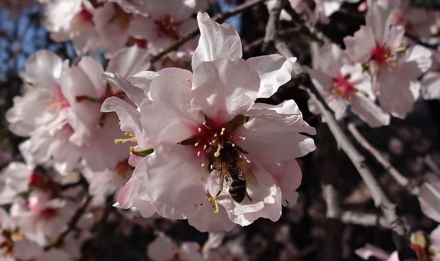 En la flor del cerezo japonés.