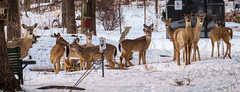 10 deer at Dennys