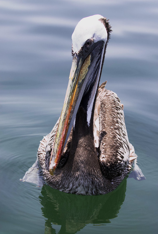 Peruvian Pelican, Pelecanus thagus Ascanio_Amazon Cruise (Lima area) 199A7275