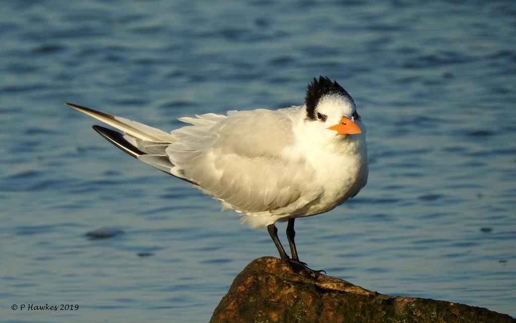Royal Tern/Sterna maxima