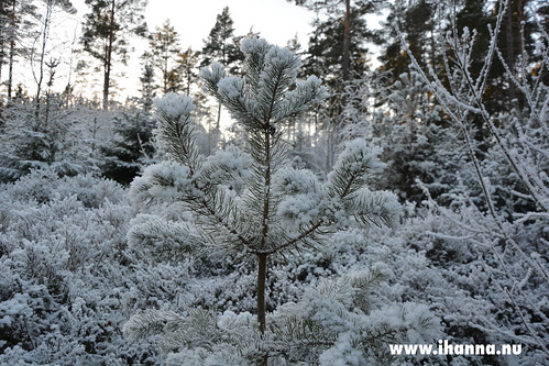 Frost Pine | by iHanna