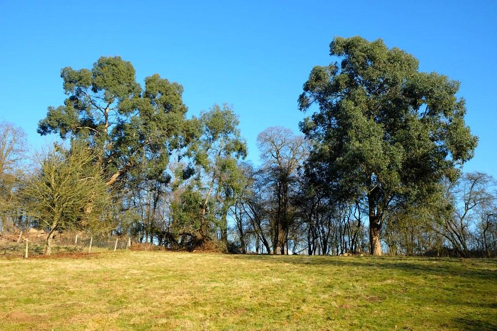 WTO 165 Eucalyptus!