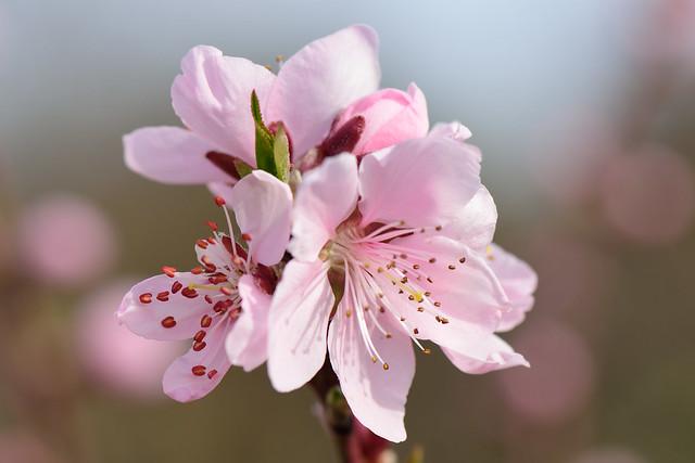 Flor de melocotonero - II
