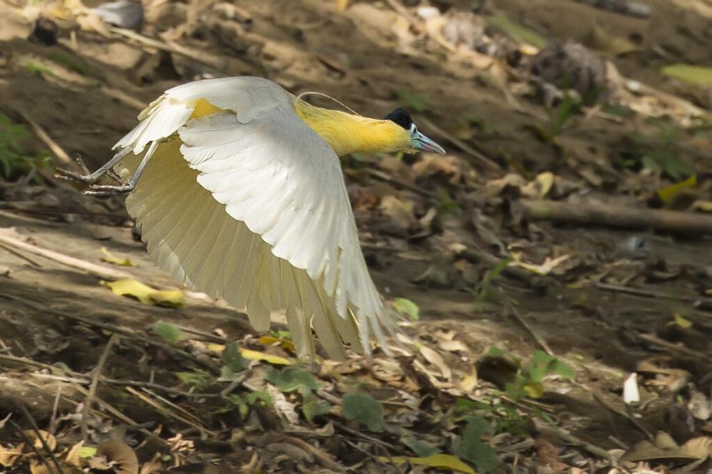 Capped Heron Pilherodius pileatus) 2 032219