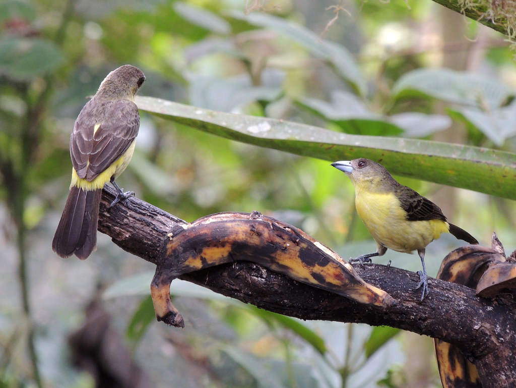 Flame-rumped Tanagers (Lemon-rumped)