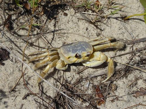 virginia virginiabeach ghostcrab crab falsecapestatepark backbaynationalwildliferefuge virginiastatepark eyes