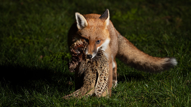 Fox and Pheasant, sometimes there is only one winner