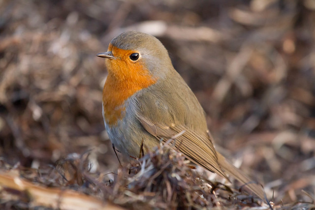 Robin. Pettirosso. (Erithacus Rubecula).