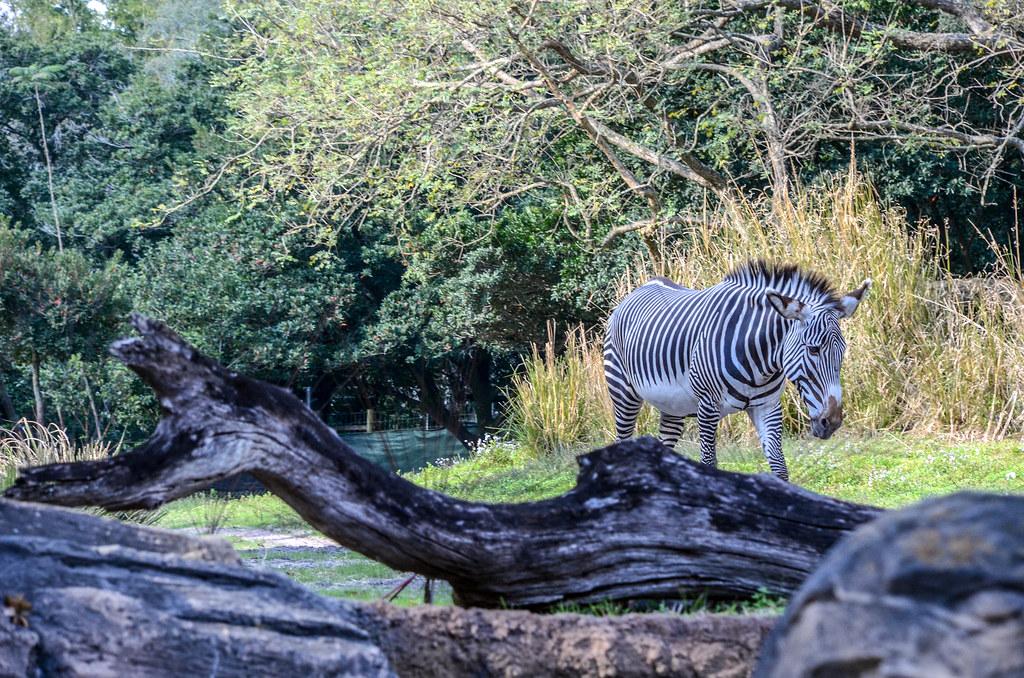 Zebra Gorilla Falls AK