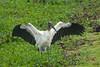 Wood Stork by CedricBear