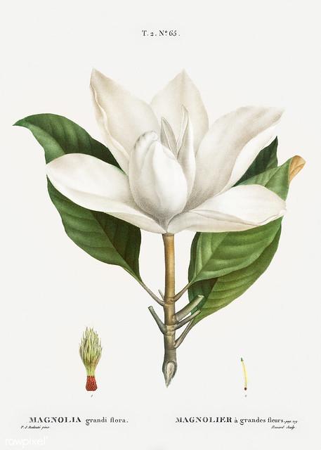 Southern magnolia (Magnolia grandiflora) illustration from Trait