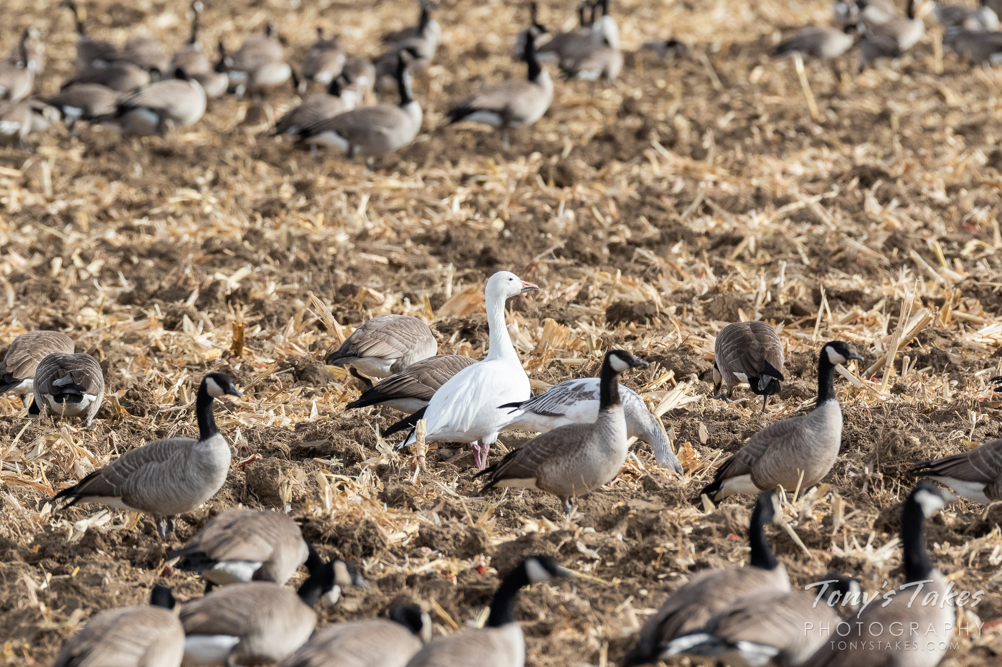 A Snow Goose hangs out among a bunch of Canada Geese. (© Tony's Takes)