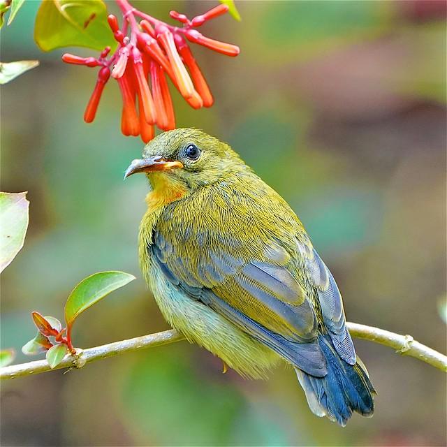Juv Sunbird