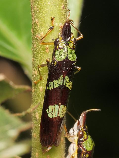 Raphirhinus phosphoreus