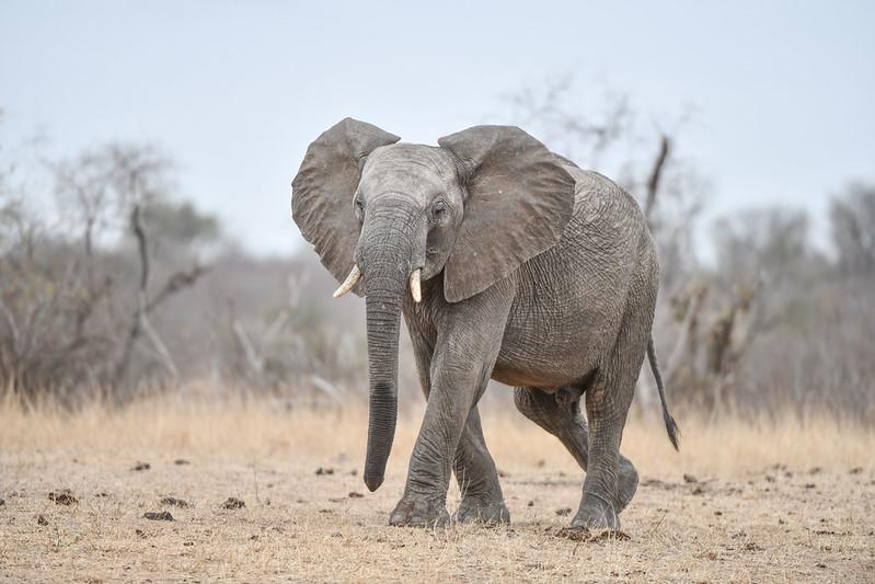 2265 Elephant