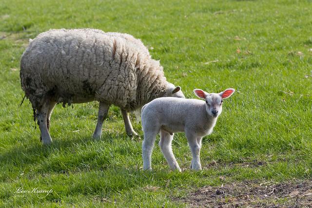 Scheep and lamb | Schaap met lammetje
