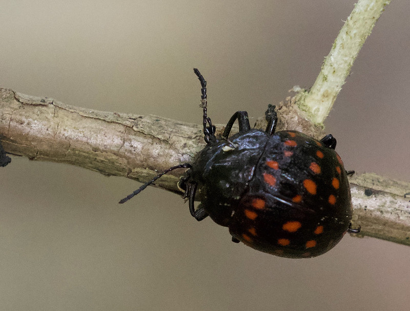 Leaf Beetle, Chrysomelidae Ascanio_Colombia 199A1706