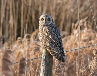 Short Eared Owl   by gazclarke2555