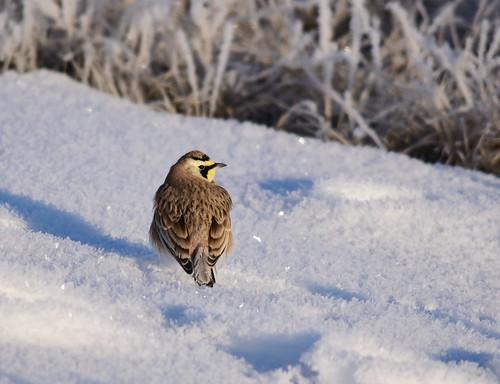 Horned lark on Seedskadee National Wildlife Refuge | by USFWS Mountain Prairie