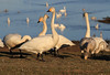 Whooper Swans by Wild Chroma