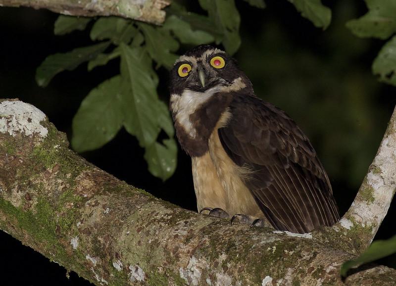 Spectacled Owl, Pulsatrix perspicillata Ascanio_Peruvian Amazon 199A6728