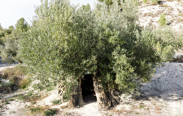 IMG_2109 Old olive tree Nr. 1 (about 2000 years)