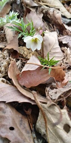 남산제비꽃 | 우지네골 봄꽃 산책길