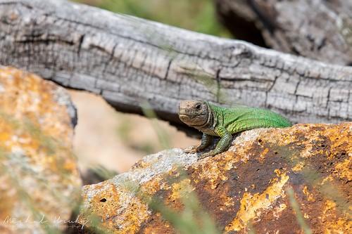 Ještěrka zelená (Lacerta viridis ) | by Michal Hruby Photography
