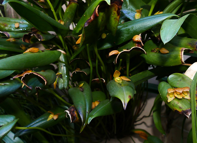 Pleurothallis phillipsii species orchid