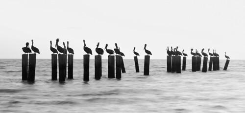highcontrast bw blackandwhite blackwhite monochrome pelicans pilings naples gulfofmexico gulf florida sunset water oly olympus getolympus em1x 12100mm 12100mmf4 12100mmf4pro