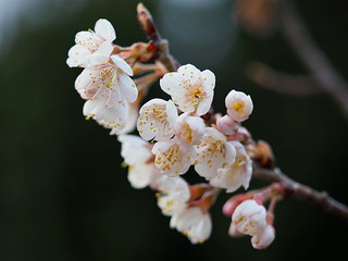 White Japanese plum blossoms (Prunus mume, 梅) in Tsuji, Ritto City | by Greg Peterson in Japan