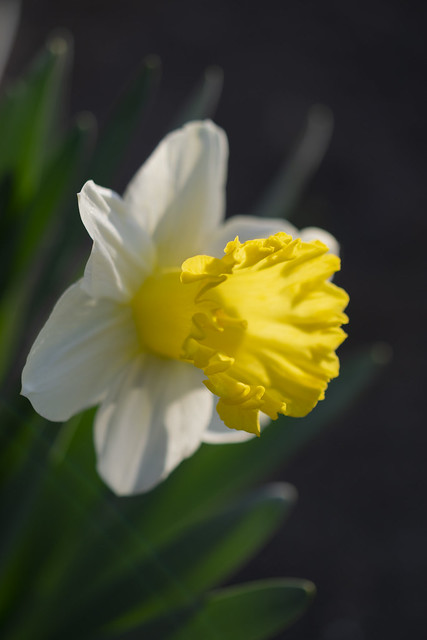 Narcissus daffodil flowers (lat. Narcissus poeticus)