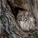 Petit-duc maculé femelle de forme rousse | Parc des Prairies | Laval by sylvain.messier