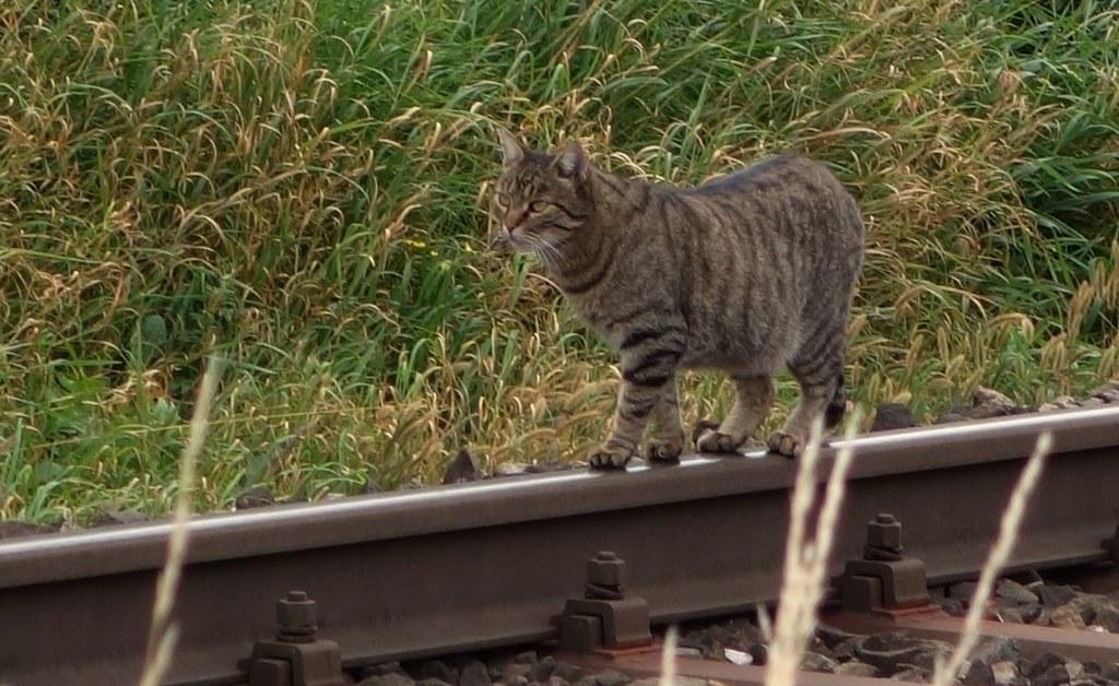 Katze auf der Schiene / Cat on the rail